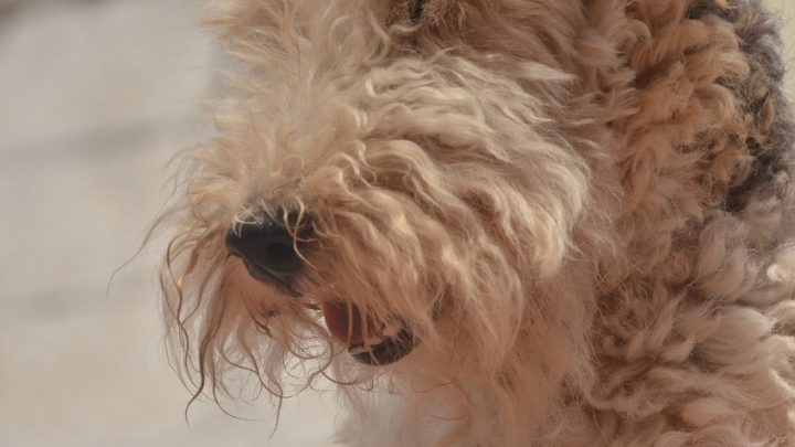 Airedale terrier – pies idealny?